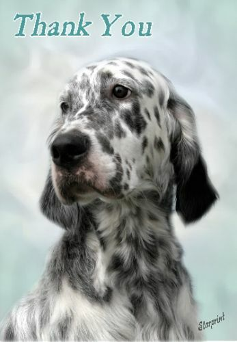 English Setter Thank You Card No 2 By Starprint