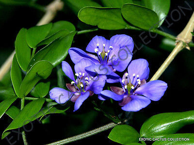 Rare Lignum Vitae Guaiacum Sanctum Exotic Lathe Hard Wood Bonsai Seed 10 Seeds Ebay