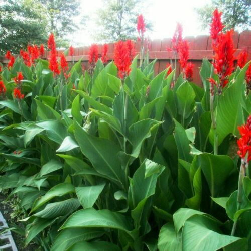 Long Lasting Giant Red Flowers Canna Lily Roots Perennial Plant Tropical Garden