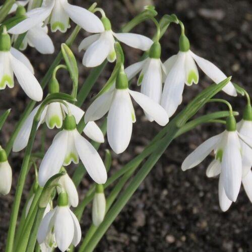 Snowdrop Bulbs /'Galanthus Nivalis/' Freshly lifted Single Snowdrops