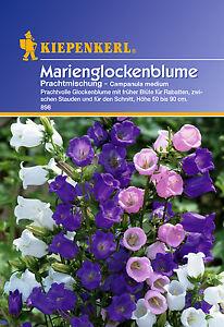 Kiepenkerl-Campanilla-898-Marien-Magnifica-Mezcla-Marie-Bellflower