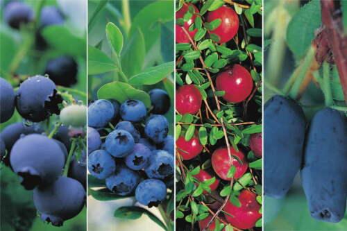 4er Kombination von Beerenobstpflanzen Heidelbeeren Blaubeeren