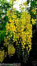Cassia fistula golden shower tree Ornamental tree Yellow ,Kanikonna 30 seeds