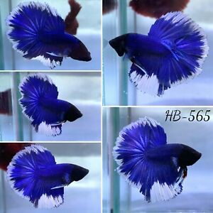 (HB-565) Blue Moon Butterfly Big Tail Live Halfmoon Male Betta Fish High Quality