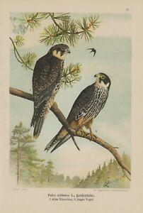 Sur De Soi Baumfalke Alouettes Faucon Falco Subbuteo Falke Lithographie 1899 Ornithologie-afficher Le Titre D'origine