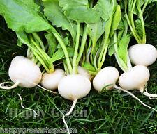 RADISH - WHITE BEAUTY - 1300 seeds Raphanus sativus  Vegetable annual