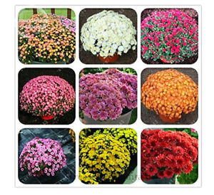 MIX-100seeds-Ground-cover-chrysanthemum-seeds-chrysanthemum-perennial-bonsai