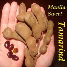~MANILA SWEET TAMARIND~ SPICE TREE Tamarindus indica Live 12+in PLANT
