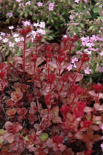 Ground Cover Sedum Voodoo  Perennial Plants