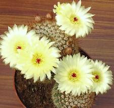 Notocactus Schlosseri, exotic parodia eriocactus rare succulent cactus -25 SEEDS