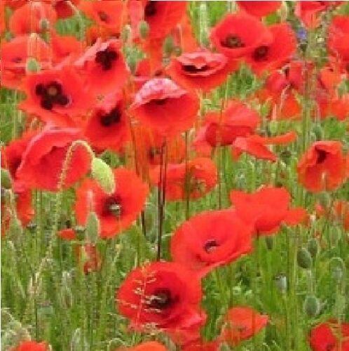 Wilde Blume Papaver rhoeas Flandern Rot Übliche Acker-hundskamille Mohnfeld