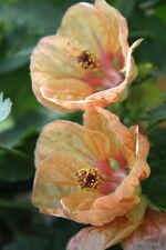 5 graines ERABLE A FLEURS( Abutilon Hybridum Abricot) X177 FLOWERING MAPLE SEEDS