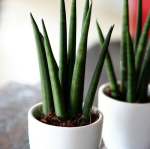 sansevieria 39 mini rocket 39 pflanzen f r moderne innenr ume ebay. Black Bedroom Furniture Sets. Home Design Ideas