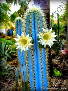 RARE PILOSOCEREUS PURPUREUS @J@ exotic color columnar cacti cactus ...