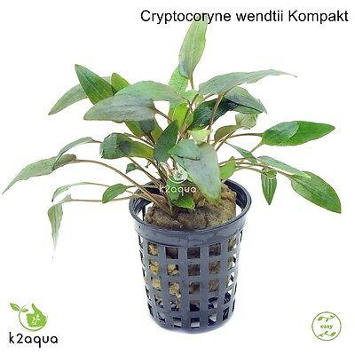 Cryptocoryne wendtii Compact Live Aquarium Plants Tropical ...