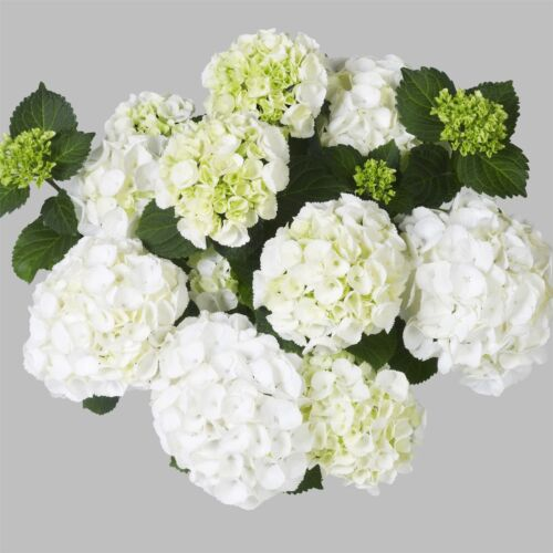 Ball-Hortensie Hydrangea macroph CLARISSA schneeweißer Dauerblüher traumhaft sch