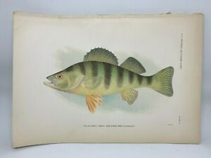 Original-Antique-Lithograph-1907-Hoen-Fish-of-NC-Print-Yellow-Perch