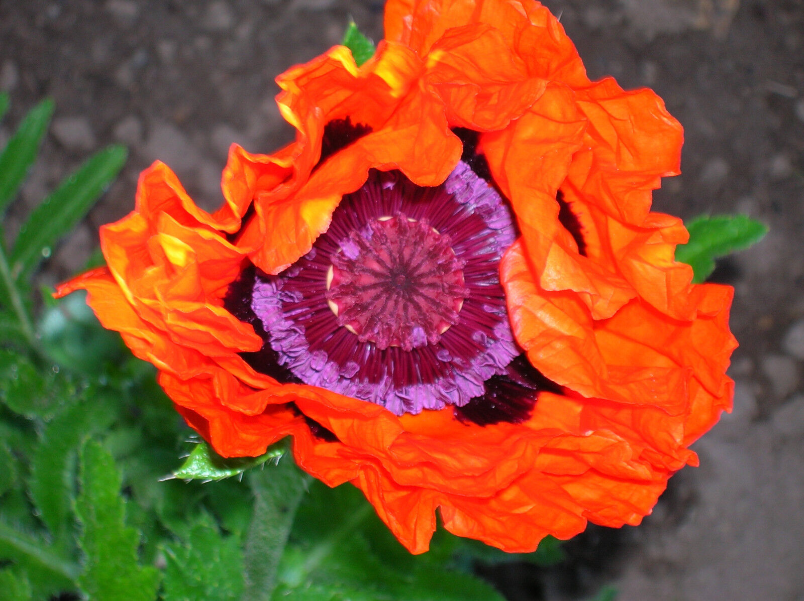 Oriental Poppy Flower Seeds Prince Of Orange Poppies Ebay