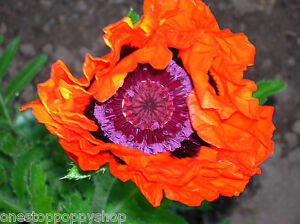 25 oriental poppy flower seeds prince of orange poppies papaver image is loading 25 oriental poppy flower seeds prince of orange mightylinksfo Image collections