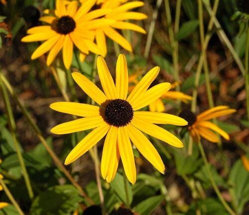 Black eyed Susan 50 seeds Annuals /& Biennials Rudbeckia fulgida Goldsturm