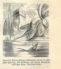 Stampa antica INSETTI Ephemera vulgata INSECTA 1891 Old antique print