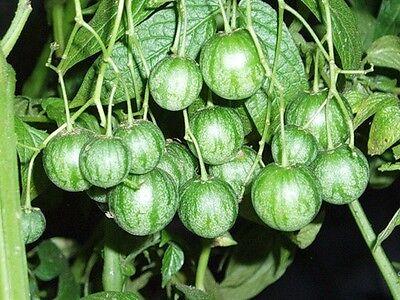 Solanum Caripense - Tzimbalo -Rare Tropical Plant Shrub Seeds (5)