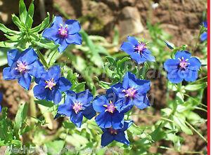ANAGALLIS-MONELLI-100-Samen-blau-einfach-zu-ziehen-Toll-als-Ampel-Pflanze