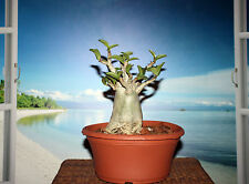 ADENIUM PLANT DESERT ROSE ARABICUM THAI SOCO DIAMOND CROWN #521 NICE FOR BONSAI