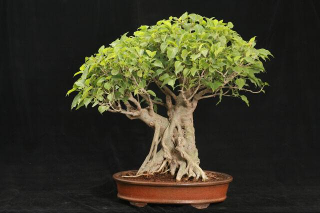 Bonsai Sacred Fig/Bo Tree (Ficus religiosa)   50 Seeds