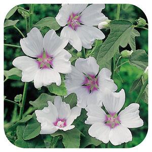 Lavatera-Hybrida-039-Silver-Barnsley-Plug-Plant-039-Tree-mallow-Hardy-shrub-039