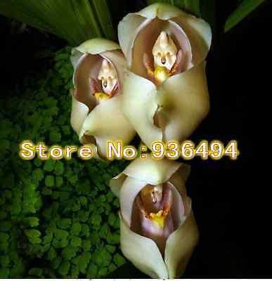 New Zealand Baby orchid seeds100PCS Bonsai Flower Seeds
