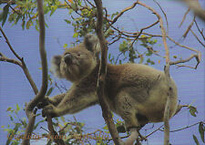 Postkarte aus Australien: Koala im Eukalyptusbaum - Koala and Gumtree, Greetings