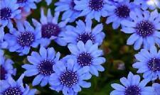 BLUES BLUE DAISY FELICIA Heterophlla Kingfisher (5 seeds) F-010