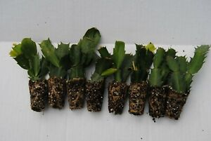 U-Pick-Any-8-Christmas-Cactus-Schlumbergera-Plants-100-Varieties-to-Choose-From
