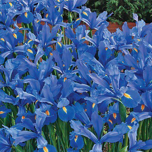 Bulbi 100 Pezzi IRIS BLUE MAGIC HOLLANDICA Blu Fiori Perenni Da Giardino