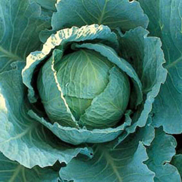 VEGETABLE  CABBAGE WINTER TUNDRA F1  55 FINEST SEEDS