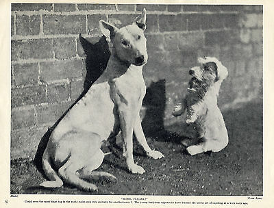 BULL TERRIER AND SEALYHAM PUP #1 LOVELY ORIGINAL DOG PRINT PAGE FROM 1934