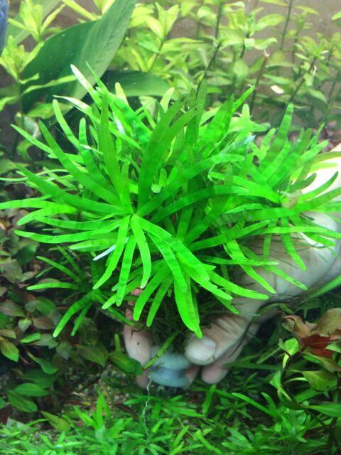 Live Aquarium Aquatic Plants EICHHORNIA DIVERSIFOLIA - rare stunning quality