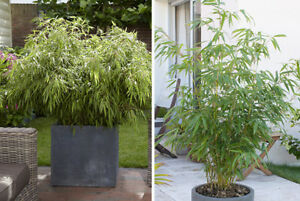 bamboo fargesia rufa live potted plant 2l pot healthy live screen ebay