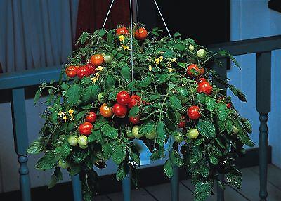 Vegetable - Tomato - Tumbler F1 - 15 Seeds