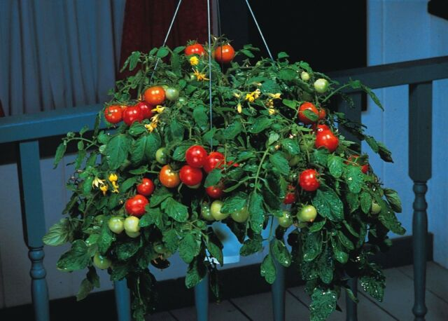 Vegetable - Tomato - Tumbler F1 - 15 Seeds