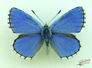 Adonis-Mariposa-Azul-Polyommatus-Bellargus-Juego-x1-Par-Ingles-j02