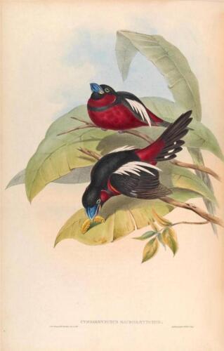 J Gould Reproduction Bird Print Cymbirhynchus Macrorhynus From Birds of Asia.#18