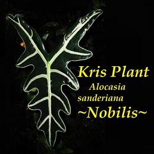 Nobilis-Kris-Plant-Alocasia-sanderiana-Spectacular-Aroid-Live-Big-Potted-Plant
