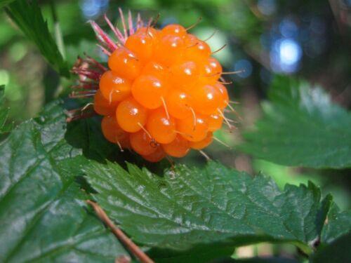 Rubus Spectabilis H405 SALMONBERRY SEEDS SAMEN RARE 4 graines de RONCE ADMIRABLE
