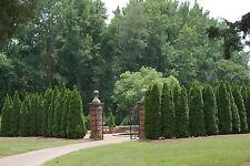 arborvitae tree shrub bush evergreen, 52 seeds! groco*