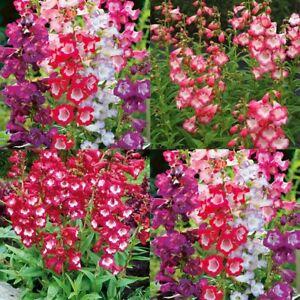 beardtongue penstemon sensation mix 600 seeds perennial