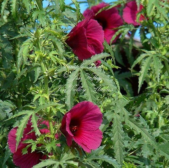 Hibiscus cannabinus Kenaf  Flower seeds Red Tropical Flower Attracts Butterflies