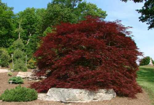 101 Graines Erable Japanese Maple Acer Palmatum Dissectum Tree seeds