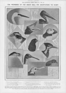 1908-Antique-Print-BIRDS-Bill-Wonders-Egret-Hornbill-Pelican-Goshawk-97